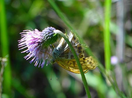 矢並湿地のキセルアザミと蝶