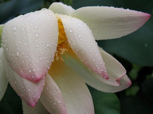 雨の日の蓮1