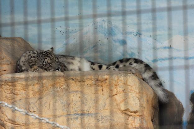 寝てます・・トラもライオンも寝てました