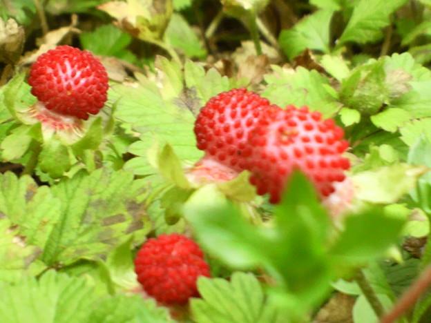写真: False strawberry