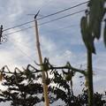 Photos: 見えにくいけど…トマトと夏の空と蜻蛉♪