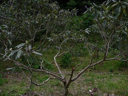 イノシシに折られた房州びわの木