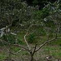 Photos: イノシシに折られた房州びわの木