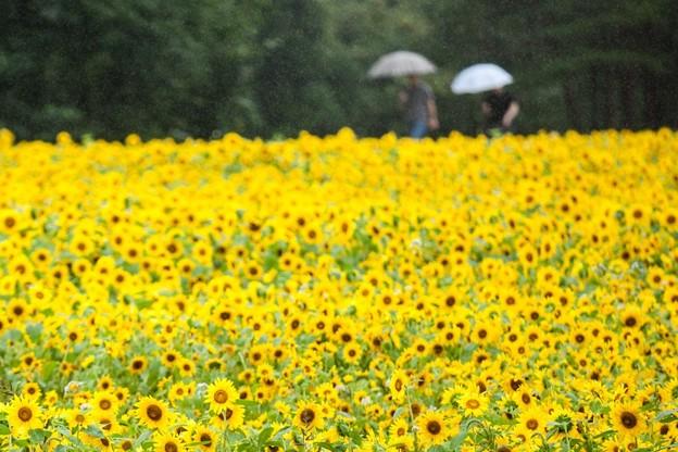 雨の花畑 #雨 #花畑