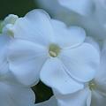 Garden Phlox 9-25-11