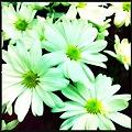 Green Mums