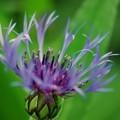 Photos: Cornflower 6-4-15