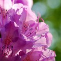 Rhododendron I 6-13-15