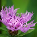 Great Knapweed I 6-30-15