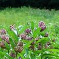 Milkweed Field I 7-19-15