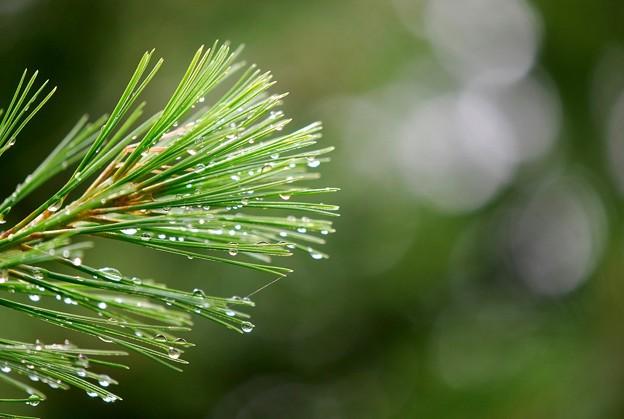 Photos: Raindrops on Pine Needles 7-19-15