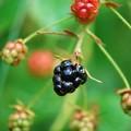 Blackberries I 7-28-15