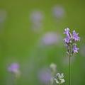 English Lavender 7-12-11