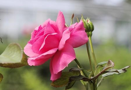 半田山植物園のバラ マガリ