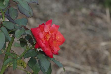 半田山植物園のバラ フリュイテ