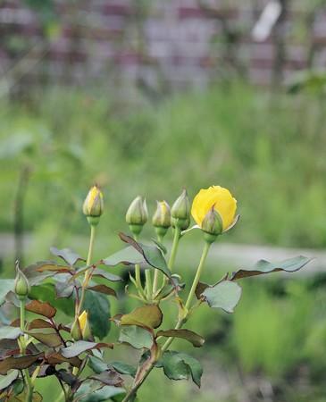 半田山植物園のバラ ヘンリーフォンダ