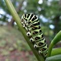 美しい蝶になるんです