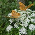 Photos: 秋は蝶の季節ですね