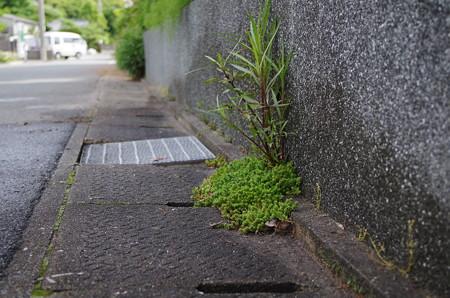 盆栽のような雑草