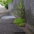写真: 盆栽のような雑草