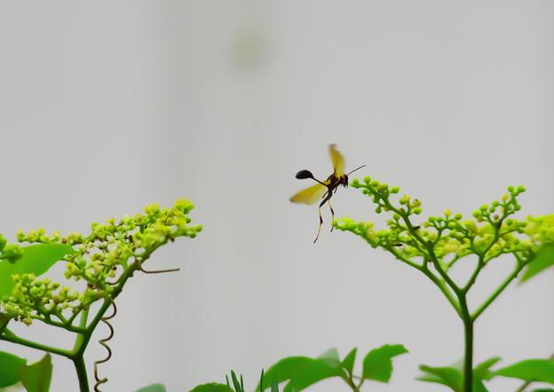 アメリカジガバチ5