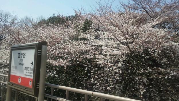四ッ谷駅の桜