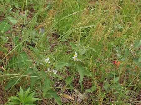 野生のナスの花