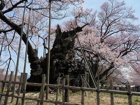 山高神代桜_182