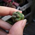 写真: Monadenium richie
