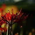 Photos: 燠火の花