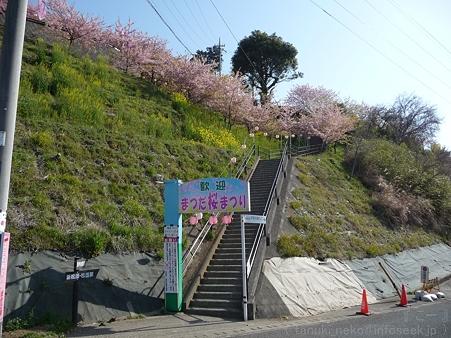 120329-松田山 河津桜 (1)