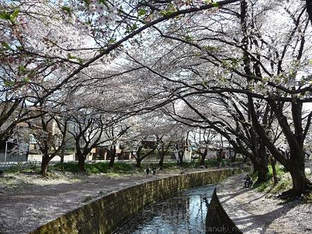 120412-千本桜 (82)