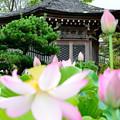 Photos: 釈迦堂と蓮