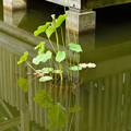 新潟県立大潟水と森公園の蓮