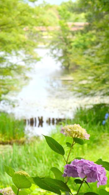 紫陽花と池