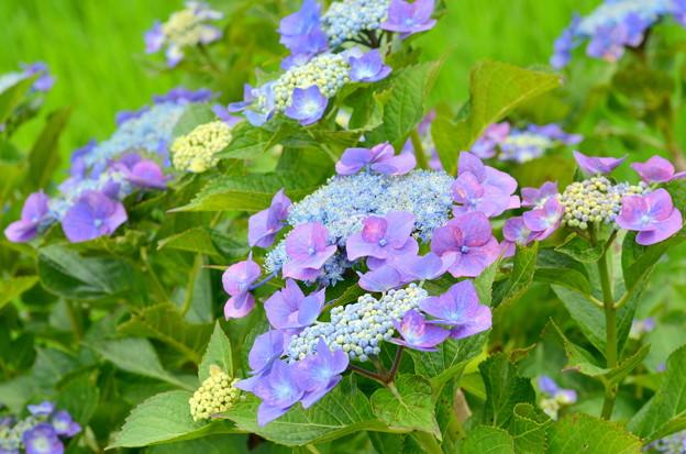 Photos: 紫陽花2015-9