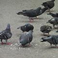 餌にむらがるハト  1