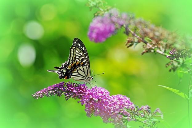 植物園の蝶たち・ナミアゲハ。
