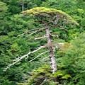写真: GP396古木の威厳