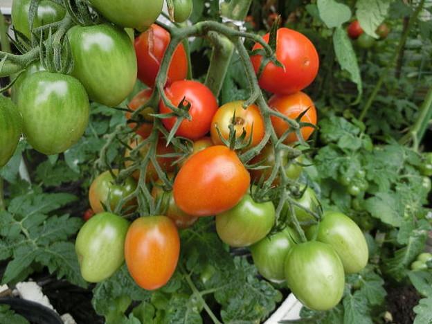 密集するトマト