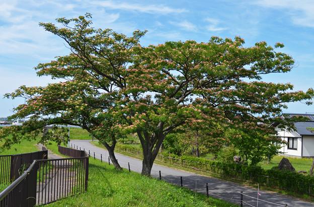 150707合歓の木01