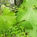 家庭菜園 ブドウ