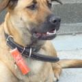 おっ,いかがわしいGuizi(鬼子)? Guardian dog at the temple
