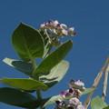 写真: オアシスの花 Wild Flowers in an oasis,Oman