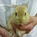 写真: ミニウサギ。 5月生まれの...