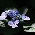 こぼれ日の紫陽花