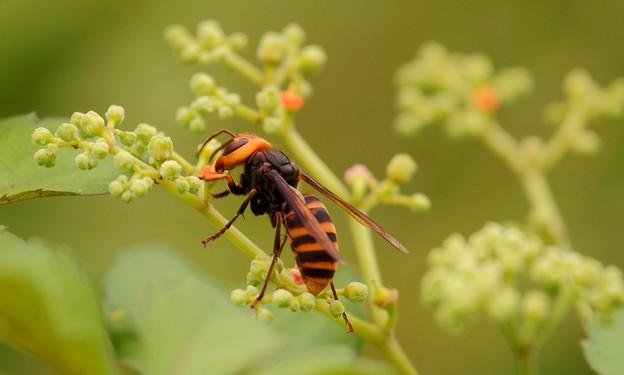 ミツバチ?