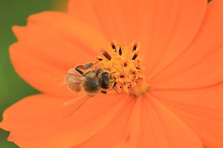 2011.11.03 和泉川 キバナコスモスにミツバチ