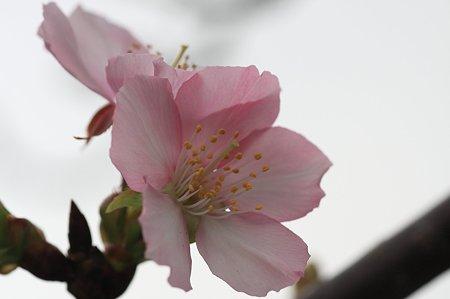 2011.11.03 和泉川 桜 不時