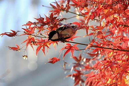 2011.12.11 和泉川 紅葉にシジュウカラ